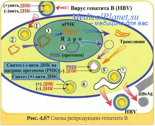 Механизм передачи вирусного гепатита В. Естественные и ...