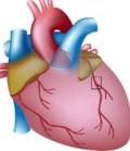 регуляция сокращения сердца