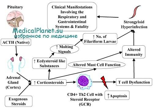 Кортикостероиды синтез анаболики и стероиды в чем разница