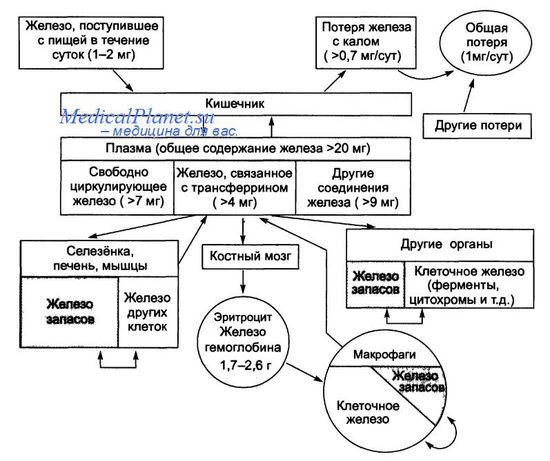 Схема обмена железа в организме взрослого человека