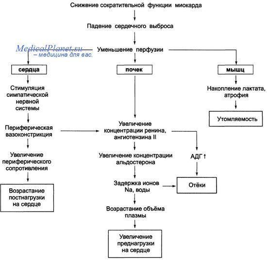 Патогенез хронической систолической сердечной недостаточности
