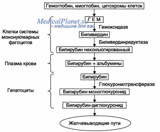 схема метаболизма (обмена) билирубина