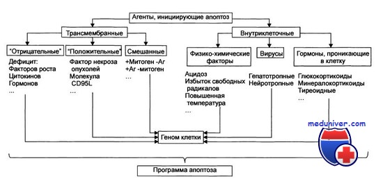 Причины вызывающие апоптоз