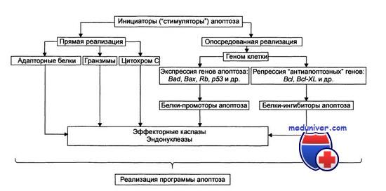 программирование апоптоза