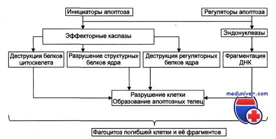 реализация программы апоптоза