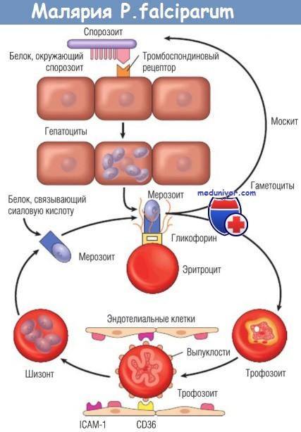 Патогенез и морфология малярии