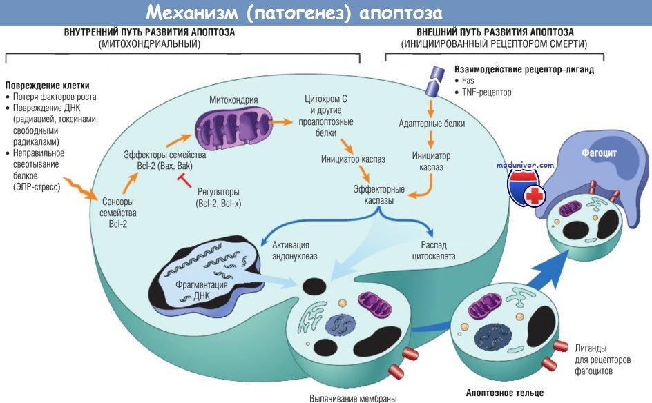Патогенез (механизмы развития) апоптоза