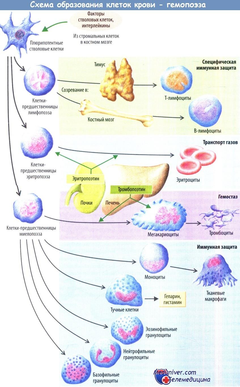 Схема образования клеток крови - гемопоэза