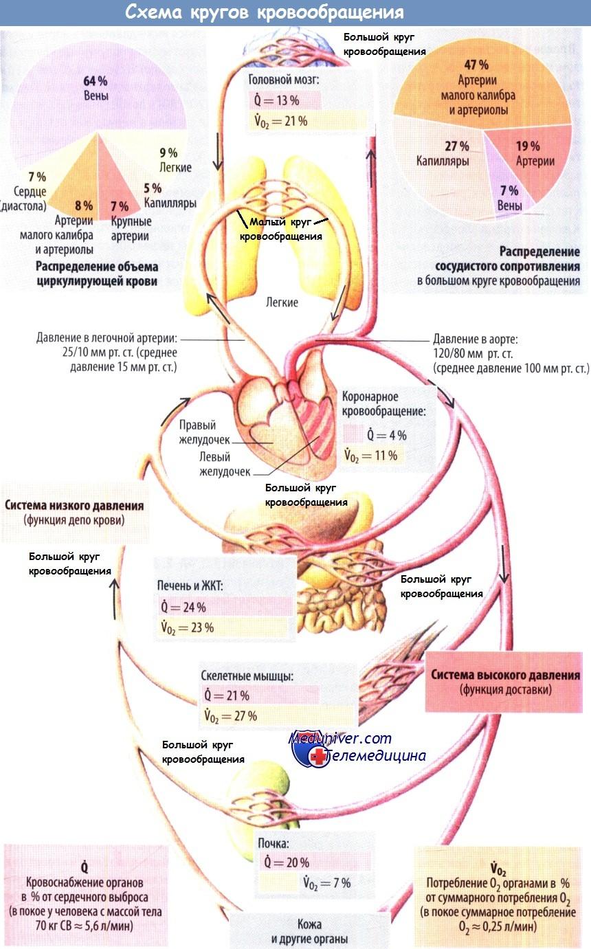 Кровоснабжение легких. Малый круг кровообращения. Интенсивность кровотока в сосудах легкого.