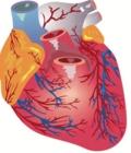 пороки сердца у беременных