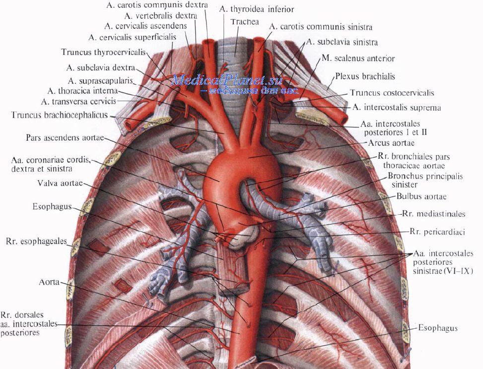 Нерв диафрагмальный