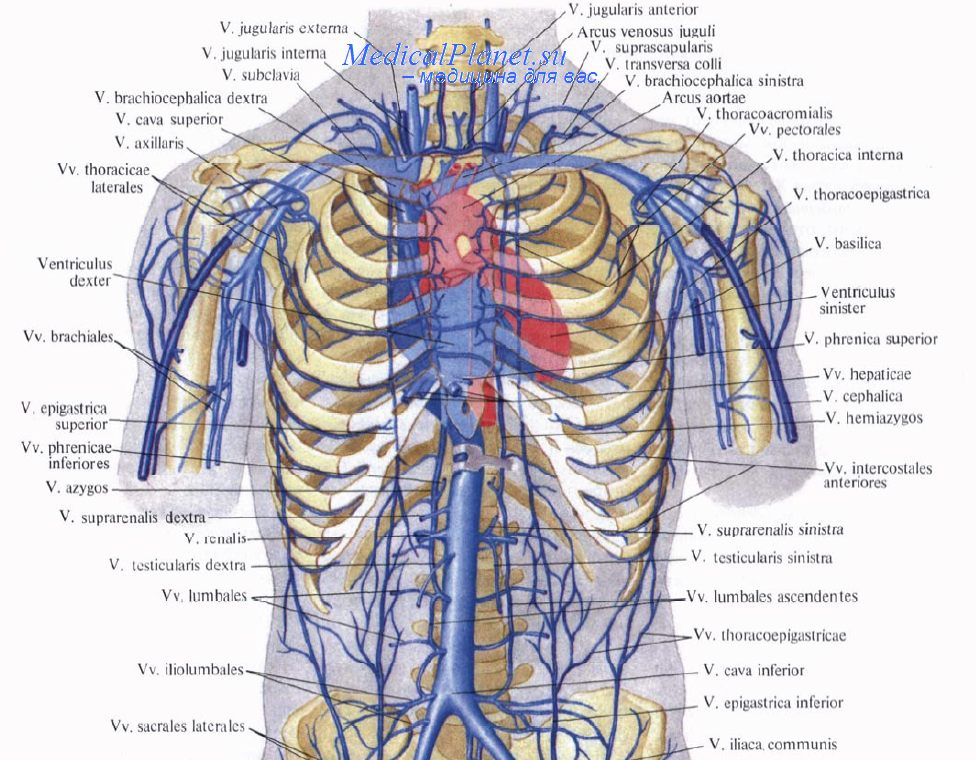 Из какой вены берут кровь у грудничков