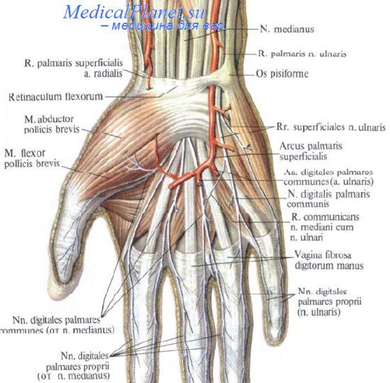 лучевая артерия где находится фото