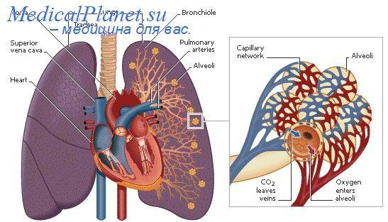 Альвеолы послеродового легкого. Стенки альвеол легких новорожденного