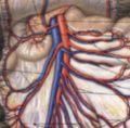 Анатомия селезенки, надпочечников для хирурга.
