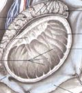 Анатомия паховой области. Патология яичка.
