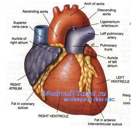 Врожденные пороки сердца. Развитие сердца плода.