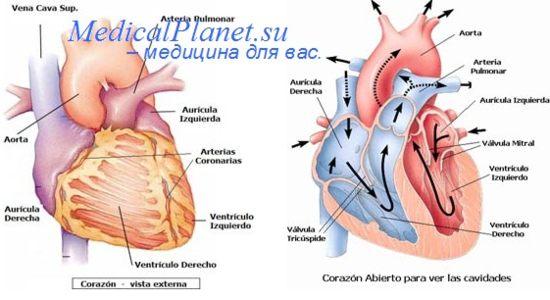 Вызов экстрасистол сердца. Инотропные реакции сердца