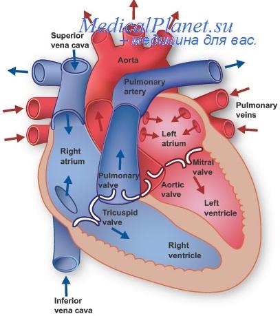 Клапанный аппарат сердца. Клапаны предсердно-желудочковых отверстий