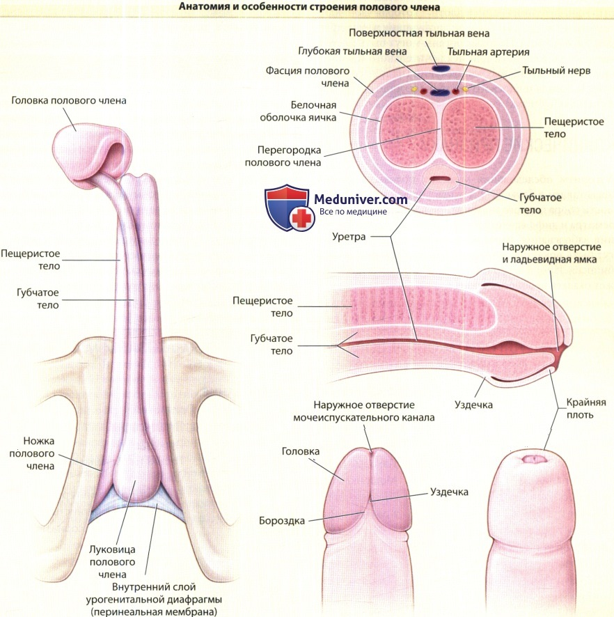 Mechanism of suction of vaginal contents into the preputial sac