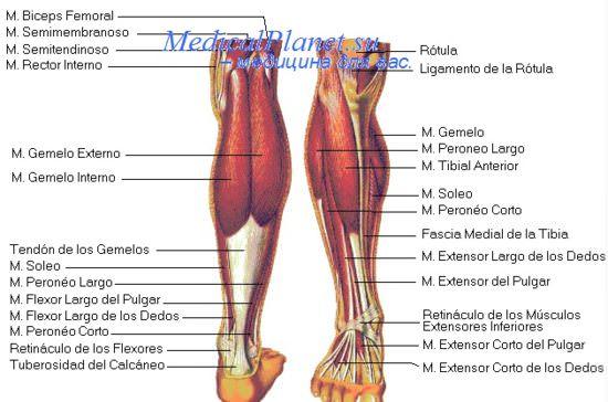 Техника УЗИ артерий нижних конечностей. Локация бедренных артерий