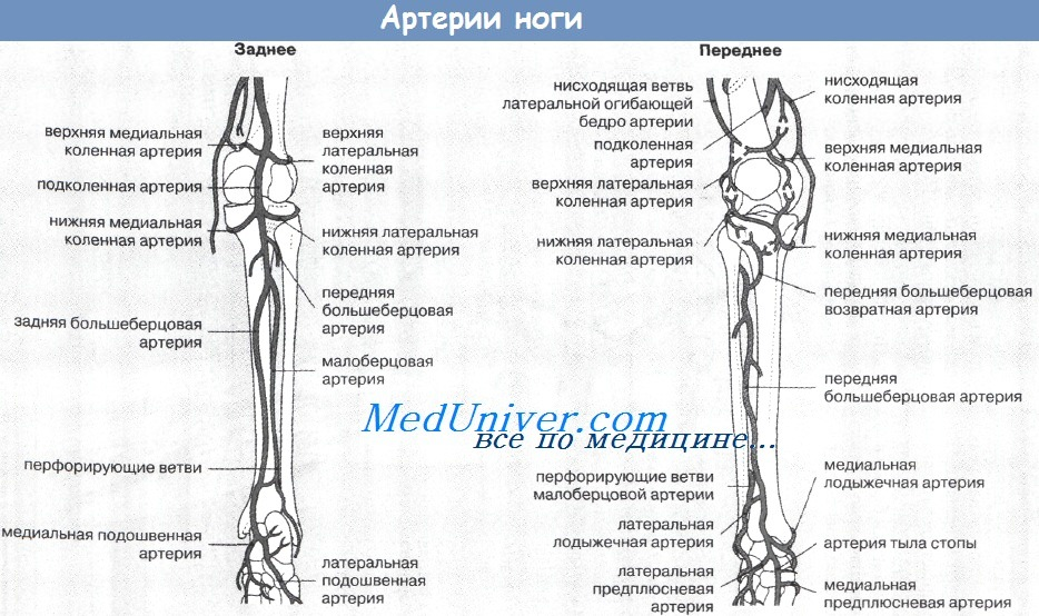 Артерии ноги