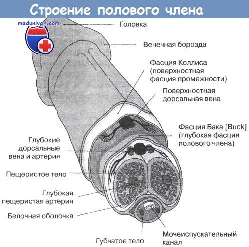 увеличение размера полового члена Московский