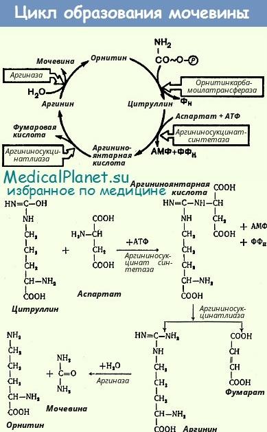 Цикл образования мочевины - обмена аргинина
