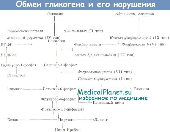 Обмен гликогена