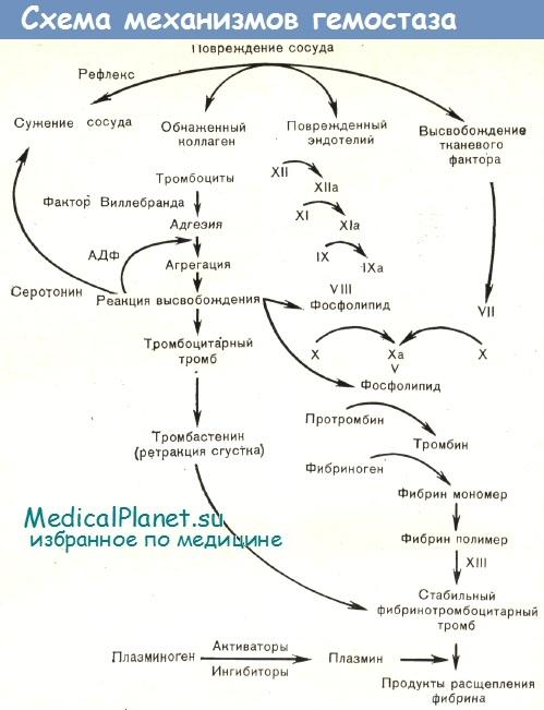 Схема механизмов гемостаза