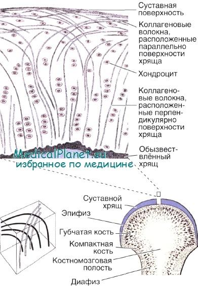 Гистология сустава