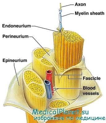 Нервные волокна: строение