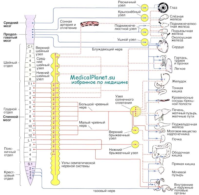 Схема строения эфферентных