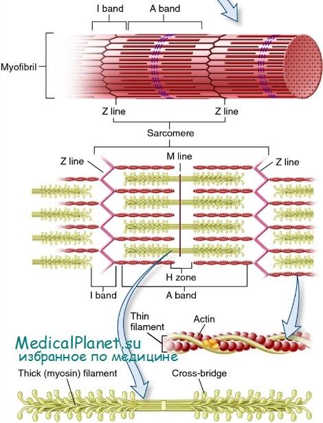 Схема сокращения мышцы