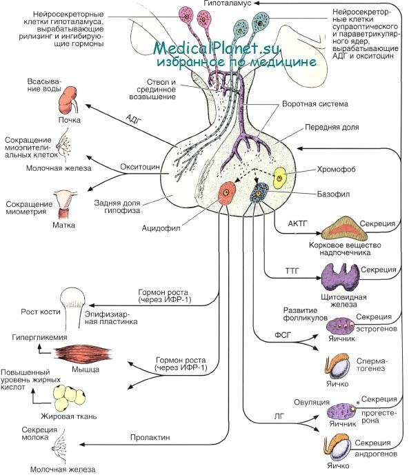 Гормоны аденогипофиза