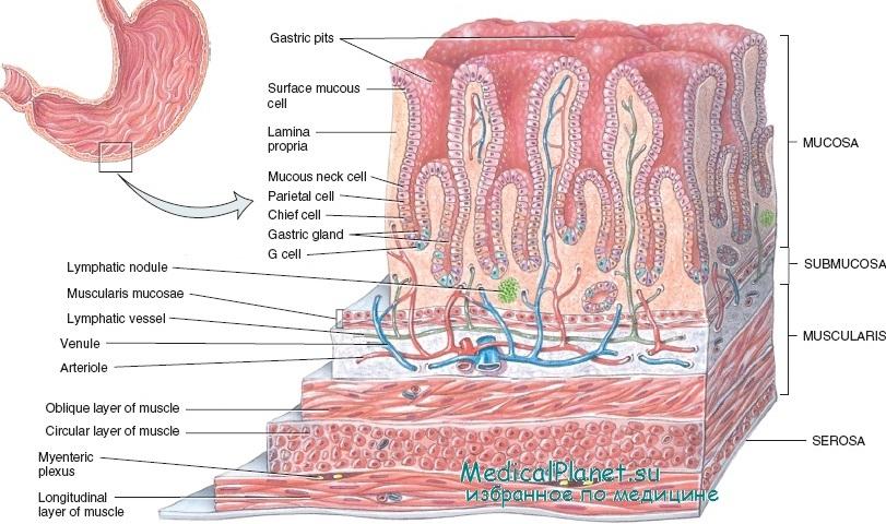Клетки Обкладочные (Желудка)