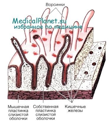 Гистология тонкой кишки