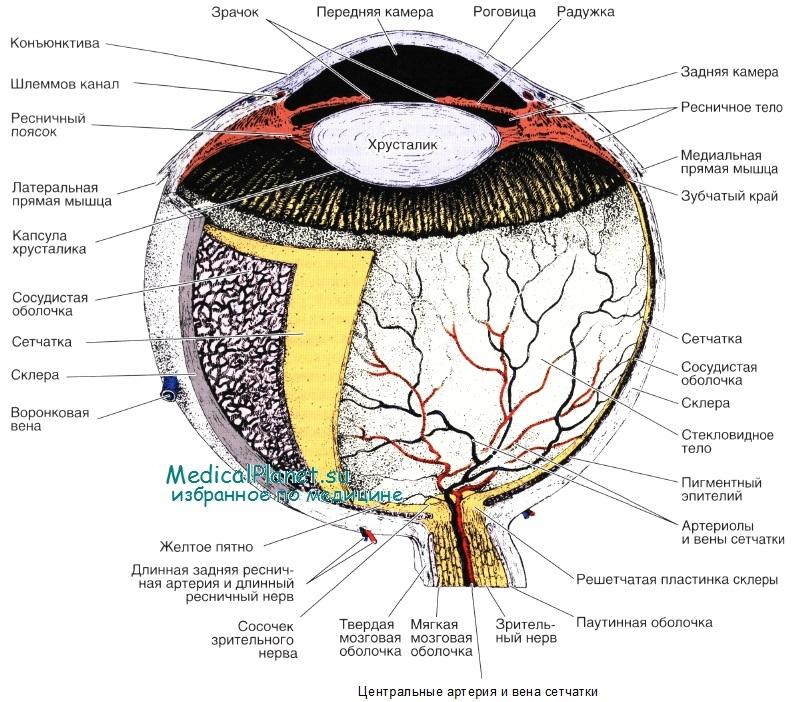 Строение глаза (анатомия)