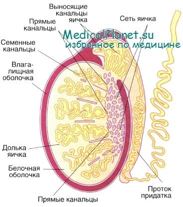 kak-virabativaetsya-muzhskaya-sperma