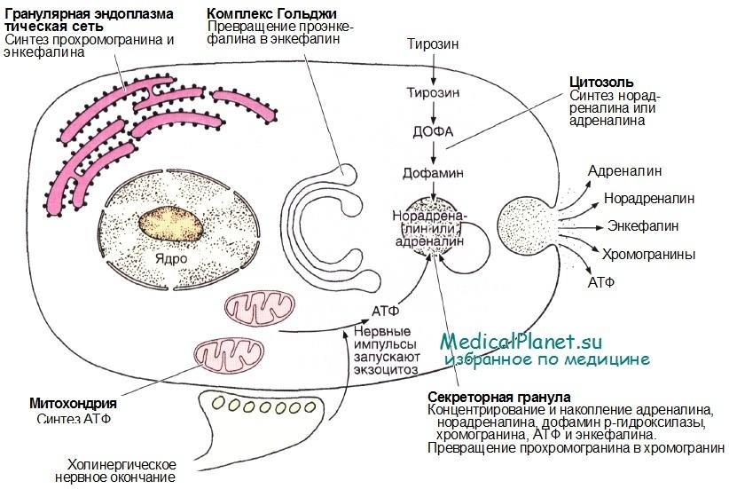 Катехоламины