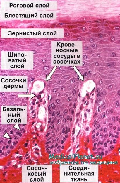 Гистология кожи