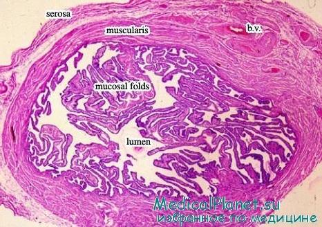 Гистология (строение) маточной трубы