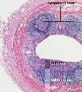 гистология желудочно-кишечного тракта