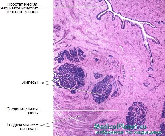 Гистология простаты. Строение, функции предстательной железы