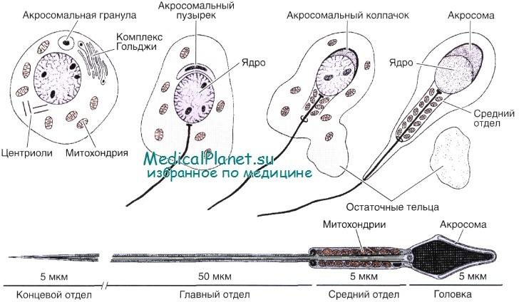 Составные части спермы спасибо
