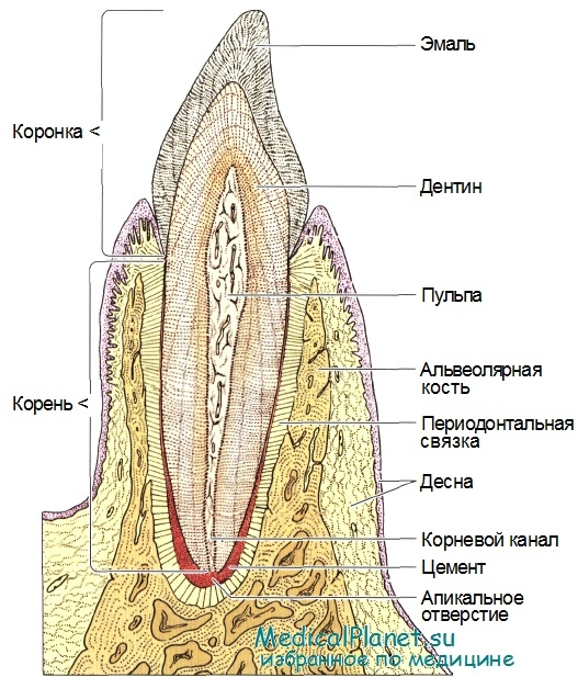 Цемент (Зуба) фото