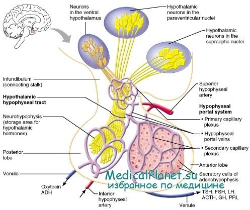 гормоны гипоталамуса и гипофиза