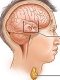 гипофиз и щитовидная железа