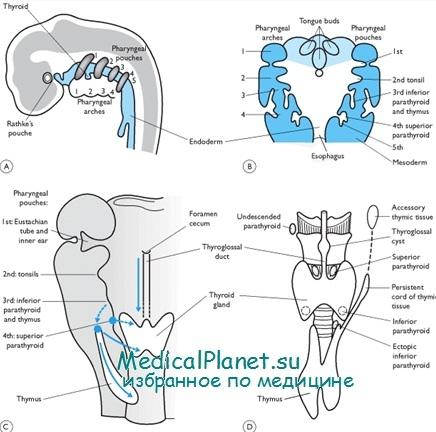 Эмбриогенез щитовидной железы