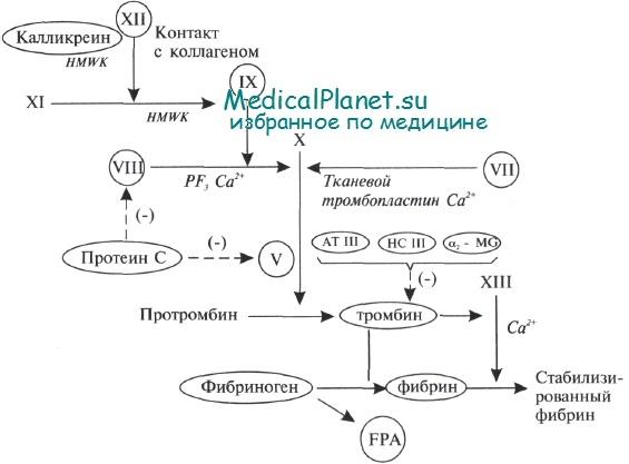 Система гемостаза, коагуляции
